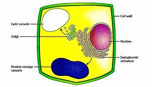 Stomata And Vacuoles  U2013 Plant Stomata Encyclopedia