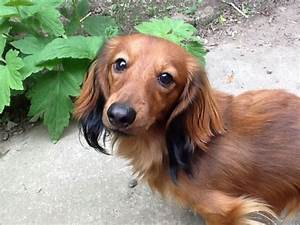Top 25 Ideas About Dachshund On Pinterest Colorado