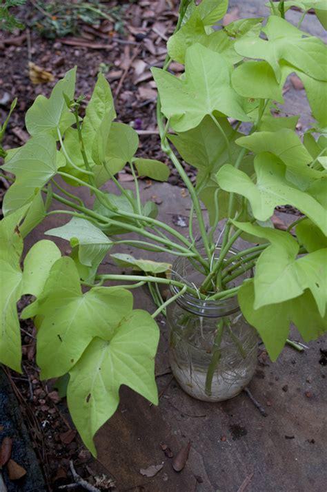 sweet potatoe vine sweet potato vine the shady acre