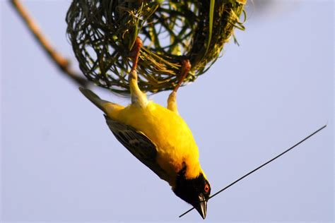 the weaver bird this valentine s day spare a thought for the poor male weaver bird animal behaviour earth