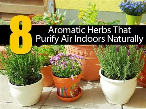 aromatic indoor herbs  purify air naturally