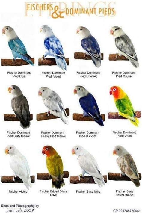 Love Bird Color Mutations Chart