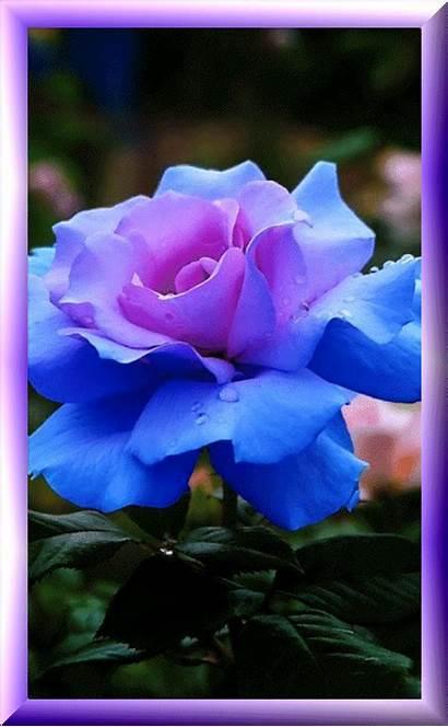 Flowers Rose Fleurs Pretty Roses Jjj Centerblog