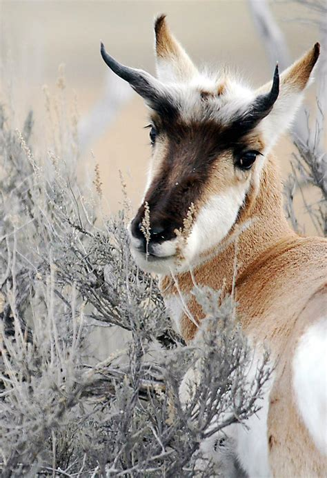 game officials  pronghorns poached  eastern idaho