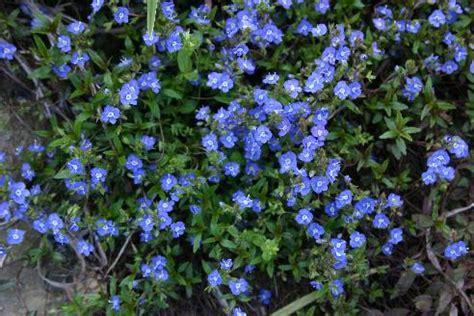 blue ground cover flowers perennials m z hoot owl hollow catalog