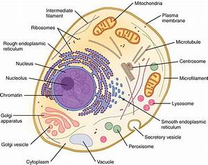 Epithelial Cell Cytoplasm Diagram