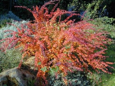 low height shrubs low maintenance landscaping plants japanese barberry maroon foliage height 4 6 bloom