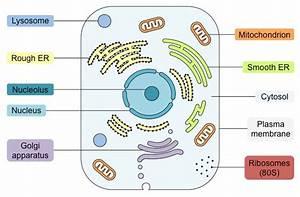 Labelled Diagram Of Eukaryotic Nucleus