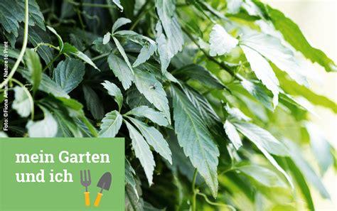 welche kräuter kann ich zusammen pflanzen jiaogulan pflanze pflege jiaogulan pflanze anzucht und