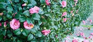 Camellia Japonica Winterhart : camellia japonica flower power ~ Eleganceandgraceweddings.com Haus und Dekorationen