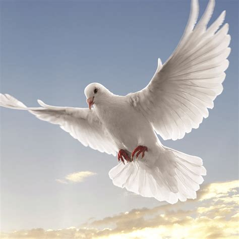 dove white 2 flying doves www imgkid com the image kid has it