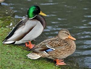 Female And Male Mallard Duck