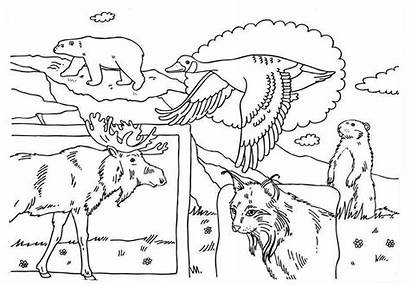 Canada Coloring Canadian Animals Pages Drawings Flag