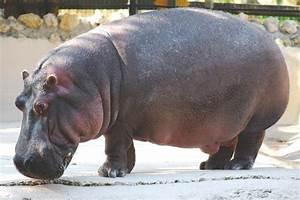¿Dónde viven los hipopótamos? 【Actualizado 2018】
