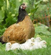 Nourriture Poule Pondeuse Pas Cher : poules poussoules ~ Melissatoandfro.com Idées de Décoration