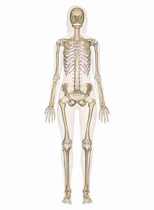 Anatomy Bones Learning Skeletal System Labeled Diagrams Of