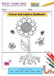 Ks1 Science  Plants  Draw And Label A Sunflower By