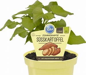 Wann Süßkartoffeln Ernten : s sskartoffel blu kr uter gem se so gesund kann lecker sein ~ Buech-reservation.com Haus und Dekorationen