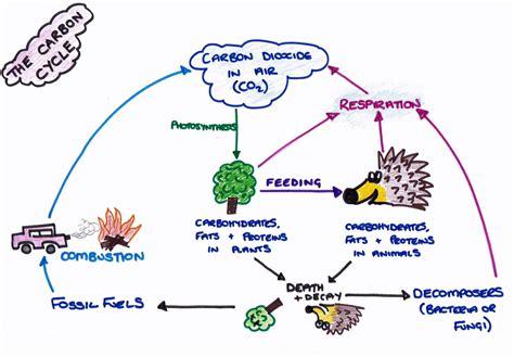 Worksheet The Carbon Cycle Worksheet Grass Fedjp