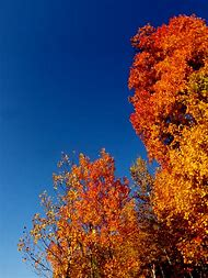 Quaking Aspen Trees in Fall Colors