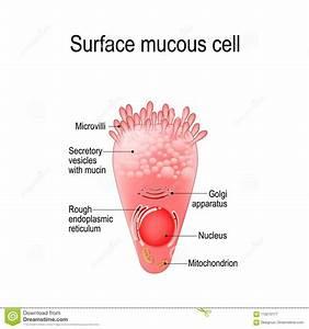 Surface Mucous Cell Stock Vector  Illustration Of Columnar