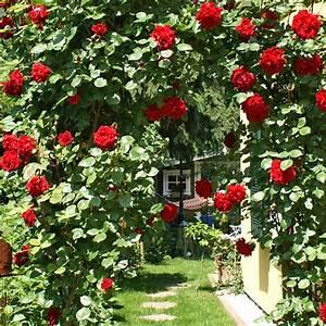 Rosen Im Topf Pflege : kletterrosen sorten rosentraeume kletterrosen ~ Lizthompson.info Haus und Dekorationen