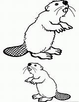 Beaver Coloring Pages Print Animal Zoom sketch template