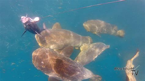 goliath groupers attacking baits hungry blacktiph