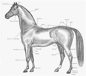 Free Arabian Horse Clipart  1 Page Of Public Domain Clip Art