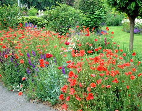 poppy flower garden 17 best images about annual flowers on pinterest poppy fields scarlet and delphiniums