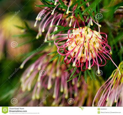 grevillea winpara gem australian native stock images