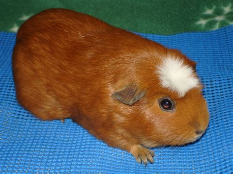 Crested Guinea Pig Facts Types Personality Care Pictures