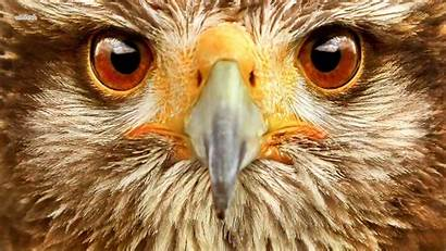 Hawk Resolution Desktop Wallpapers Bird Backgrounds Allhdwallpapers