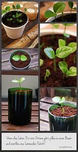 Wie Lagert Man Zitronen : wie man aus einen zitronenbaum aus einem kern zieht how to grow a lemon tree out of a seed ~ Buech-reservation.com Haus und Dekorationen