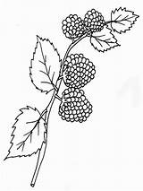 Coloring Blackberry Pages Berries Fruits Printable Recommended sketch template
