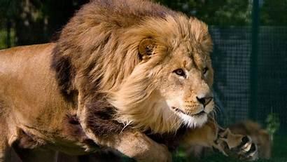 Lion Wallpapers Background Animals Desktop Wild Animal