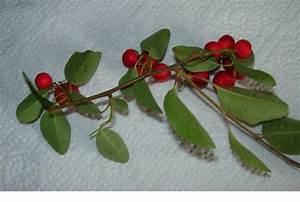 Laubbaum Mit Roten Blättern : unbekannte rote beeren am baum cotoneaster multiflorus ~ Frokenaadalensverden.com Haus und Dekorationen