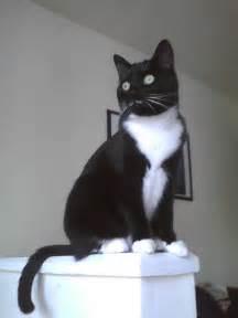 Black Tuxedo Cat
