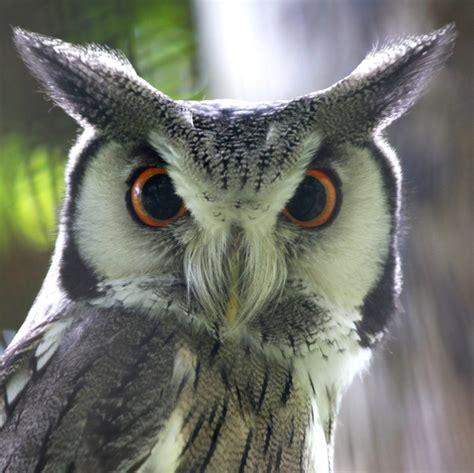 owl bird owl bird doug88888 flickr