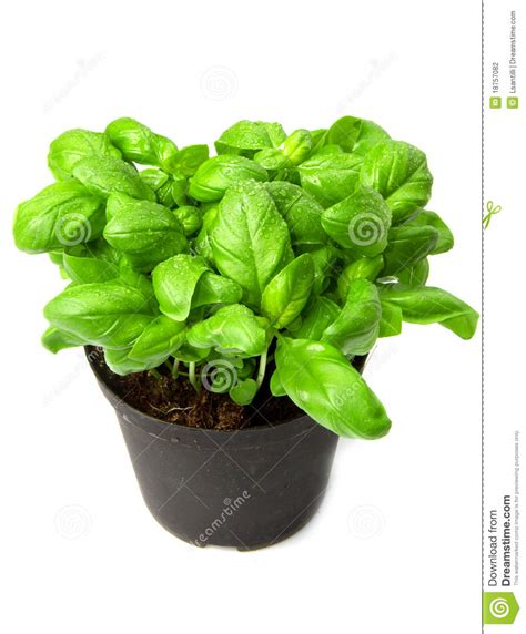 basilico in vaso pianta basilico in vaso fotografia stock immagine