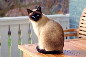 Cats La : cat siamese fur free photo on pixabay ~ Orissabook.com Haus und Dekorationen