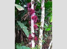 Cacao Plant flower Flowers and Fruit and Cocoa Pods of