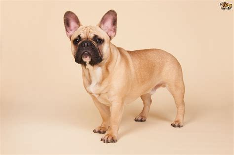 French Bulldog Dog Breed Information, Buying Advice