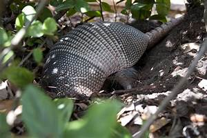 Theophiluslife  How Fast Is An Armadillo