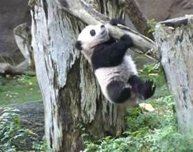 China National Animal Panda
