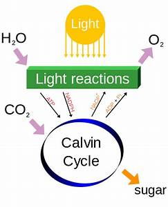 Making sugar from carbon dioxide: The Calvin Cycle ...