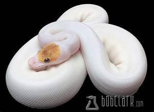 Bob Clark - Available Ball Pythons