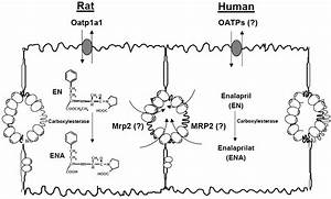 Vectorial Transport Of Enalapril By Oatp1a1  Mrp2 And Oatp1b1 And Oatp1b3  Mrp2 In Rat And Human