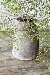 Pilea Pflanze Kaufen : gl ckstaler chinesischer geldbaum ufopflanze ~ Michelbontemps.com Haus und Dekorationen