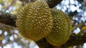 Pohon Durian Berbuah Lebat Ini Cara Tingkatkan Hasil Panen